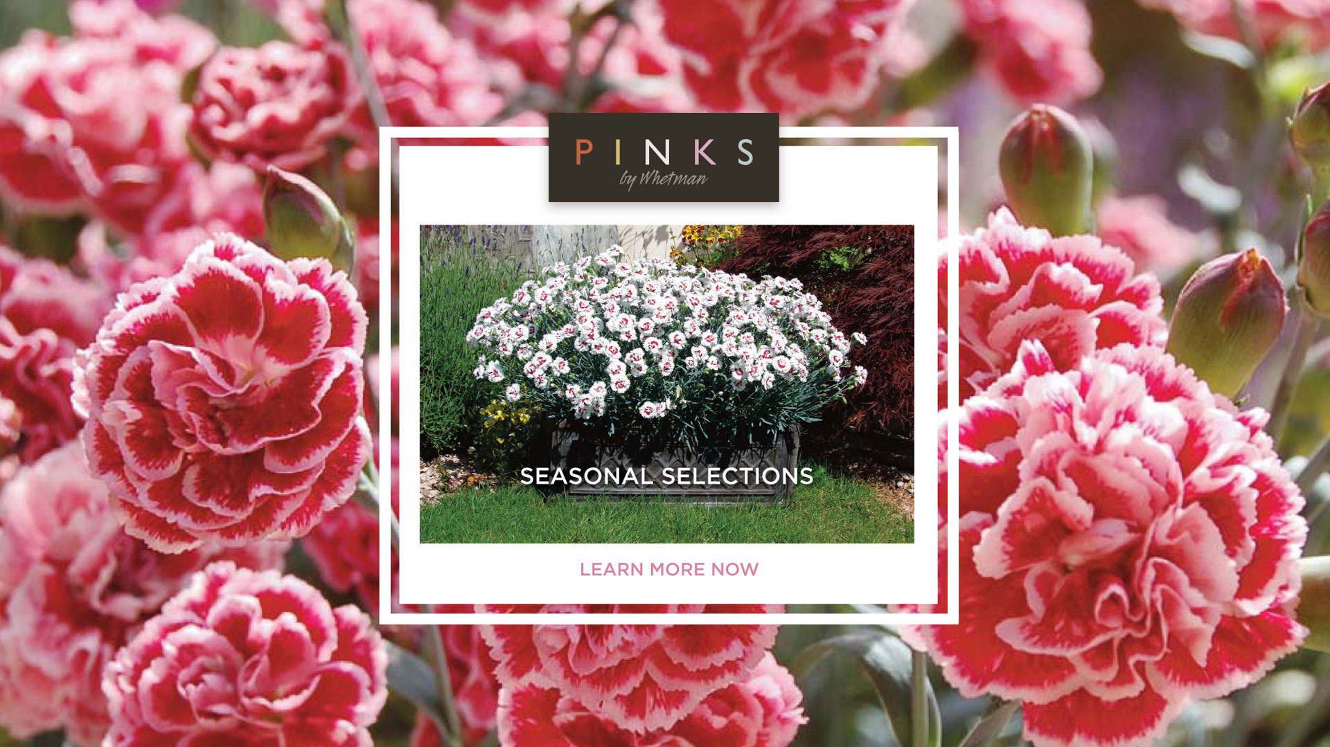 Seasonal Dianthus selections from Whetman Pinks USA