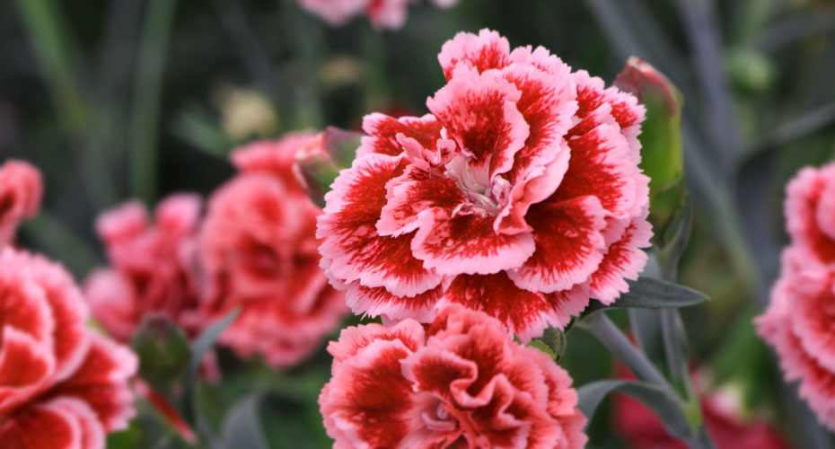 Whetman Pinks Dianthus Crop Calendar and Cultural Information