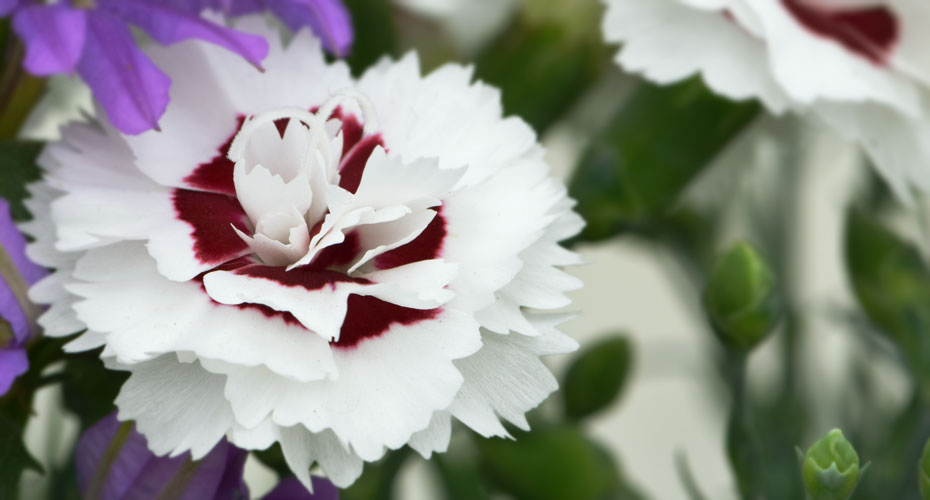 Seasonal Dianthus selections from Whetman Pinks
