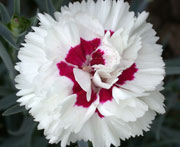 Whetman Pinks Devon Cottage Dianthus Bright Eyes