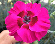 Whetman Pinks American Pie Dianthus Bumbleberry Pie