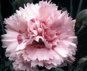 Whetman Pinks Scent First Tall Dianthus Candy Floss