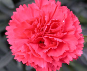 Whetman Pinks Early Bird Dianthus Chili