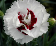 Scent First Pot Dianthus Coconut Surprise