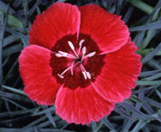 Whetman Pinks Star Single Dianthus Eastern Star