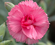 Whetman Pinks Scent First Pot Dianthus Eternity