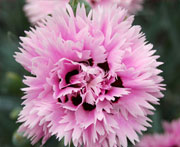 Whetman Pinks Early Bird Dianthus Fizzy