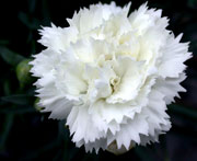 Whetman Pinks Early Bird Dianthus Frosty
