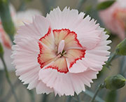 Whetman Pinks American Pie Dianthus Georgia Peach Pie
