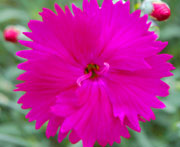 Whetman Pinks Star Single Dianthus Neon Star
