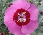 Whetman Pinks Star Single Dianthus Peppermint Star