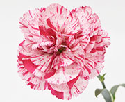 Whetman Pinks Devon Cottage Dianthus Pinball Wizard