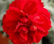 Early Bird Dianthus Radiance