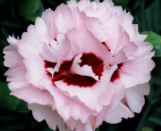 Whetman Pinks Scent First Pot Dianthus Raspberry Surprise