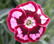 Whetman Pinks Promotional Dianthus Raspberry Swirl