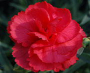 Whetman Pinks Promotional Dianthus Rosebud