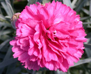 Whetman Pinks Early Bird Dianthus Sherbet