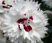 Whetman Pinks Promotional Dianthus Silver Star