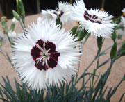 Whetman Pinks Star Single Dianthus Stargazer