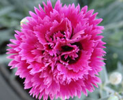 Whetman Pinks Star Double Dianthus Starlette