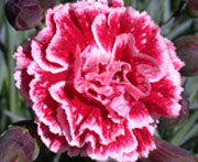 Whetman Pinks Scent First Tall Dianthus Sugar Plum
