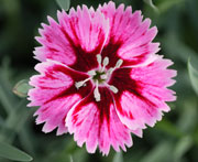 Whetman Pinks Star Single Dianthus Superstar