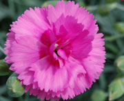 Whetman Pinks Scent First Pot Dianthus Tickled Pink