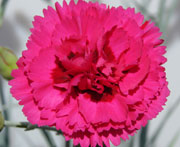 Whetman Pinks Devon Cottage Dianthus Waterloo Sunset