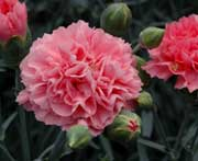 Whetman Pinks Scent First Tall Dianthus Pink Fizz